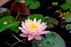 睡蓮 Nymphaea tetragona (AndyTony) Tags: 台灣 羅東鎮 臺灣省 xf1855mmf284rlmois fujifilmxt1
