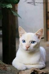 IMG_7520030348645 (2) (alinefeijoFOTOGRAFIA) Tags: pose olhos gato fotografia gatobranco estimaçao