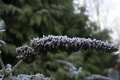 IMG_5664 (RickyV88) Tags: christmas uk flowers winter england plants plant flower garden frost gardening frosty frostymorning wintry