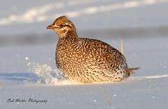 Sharptail Kicking Snow (bob_molder) Tags: spring wildlife wyoming sharptail gruse