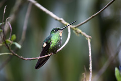 Buff-winged Starfrontlet Hummingbird (Critter Seeker) Tags: bird southamerica birds outdoors ecuador hummingbird wildlife birding aves ornithology avian buffwingedstarfrontlet