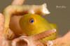 Yellow Hairy Goby (Vania Kam) Tags: fish macro nikon underwater critter philippines scuba diving scubadiving critters anilao goby 105mm d7000 yellowhairygoby hairygoby