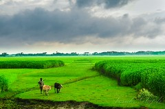 A part of Bangladesh (Ami VONDo) Tags: morning people rural nikon cattle area land bangladesh jute mehrab d5100 saifuzaman