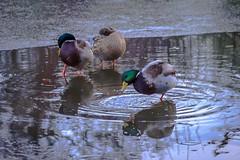 image (rodwey2004) Tags: winter birds frozen ducks freeze iced