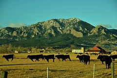 Afraid of Photos? (Let Ideas Compete) Tags: mountain barn cow colorado cattle cows angus farm running boulder silo pasture flatirons galloping bearpeak gallopping mountainbackground mountainbackdrop mountainsbehind