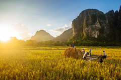 Farmers harvesting rice, Vang Vieng, Laos (syukaery) Tags: trip travel sunset vacation people food sun holiday film tourism field rural work landscape countryside town nikon scenery fuji village rice sundown paddy farmers farm adventure velvia d750 dailylife laos tamron karst lao humaninterest 1735mm laotian vsco
