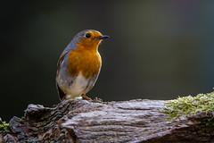 Robin (Linton Snapper) Tags: birds canon gardenbirds tonysmith lintonsnapper