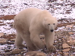 Polar Bear Churchill 2