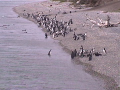Penguins Along the Beach