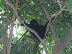 Gibbon in the Trees