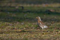 Grive litorne - Yverdon 2015 (DorianHunt) Tags: birds switzerland march sigma yverdon fieldfare 400mm 2015 nikond300s