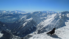 Alpine chough (Stuart.67) Tags: snow mountains alps bird bluesky alpinechough naturethroughthelens