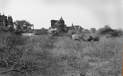 Bagan Myanmar Temples (Stefano-Bosso) Tags: blackandwhite love monochrome temple mono blackwhite travels asia cows buddha burma buddhist ngc myanmar traveling mandalay pagan bagan blackwhitephotos noiretblack tambadipa stefanobosso