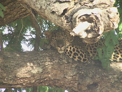 Leopard Looking at Us