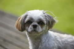 small shih tzu (powerdook) Tags: portrait dog cute beauty animal female hair fur outside outdoor small shih tzu young fifi fido
