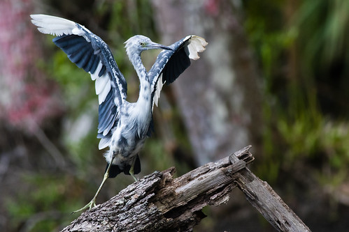 Touchdown - Little Blue Heron