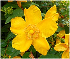 Hypericum Flower ... (** Janets Photos **) Tags: uk flowers green yellow flora bushes hypericum shrubs stjohnswart