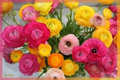 Happiness In The Flowers (Nira Dabush) Tags: flowers floral photography israel photographer ranunculus bouquet niradabush colourfulmagic