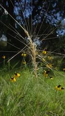 unidentified grass (dmatp) Tags: texas westtexas davismountainscampingtripjuly2016