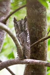 ... oriental scops owl, ... (liewwk - www.liewwkphoto.com) Tags: oriental scops owl  otussunia  orientalscopsowl   bird malayisa forest jungle malaysiabird asia liewwk canon  malaysiabirdtour birdtour     endemicguides