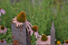 withering coneflower on a rusty metal fence (norlandcruz74) Tags: afs prime fixedfocallength 35mm nikkor dx d5100 nikon pilipino filipinoamerican filam filipino pinoy norlandcruz july 2016 summer flowers flower flora coneflowers coneflower