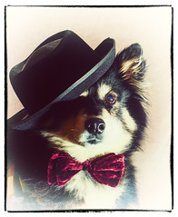 title pending (guess the idiom) (sure2talk) Tags: taivas finnishlapphund idiom figurativespeech nikond7000 nikkor50mmf14gafs vintage portrait hat bowtie