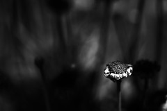 All things must pass (Greta Powell) Tags: flowers bw nature floral gardens daisies canon death mono evening flora bokeh daisy dying tones imperfection greyscale whiteflowers fadinglight eveningshots