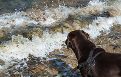 (Rob Hurson) Tags: ireland skerries dublin codublin seaside coast summer leinster pentaxk30 pentax beach rocks sand chocolatelabrador labrador puppy holly waves splash dog pentaxda1650mmf28