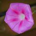 Prunkwinde rosa (Ipomoea purpurea)