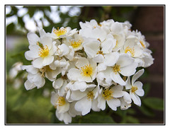 Summers Magic (Audrey A Jackson) Tags: canon60d davidaustinrosegarden albrighton roses petals white yellow green nature macro closeup 1001nightsmagiccity