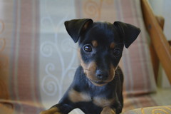 _DSC0007 (Andrea Marzano) Tags: pinscher dog cane nikon nikond5200 d5200