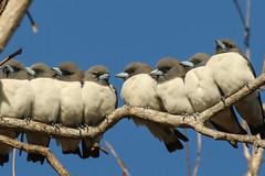 White-breasted Woodswallows (Janis May) Tags: locations smallbirds whitebreastedwoodswallow holmesjunglenaturepark