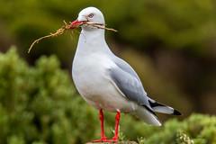 Bird @ 1120mm (x_tan) Tags: bird au australia victoria greatoceanroad peterborough bayofmartyrs 1120mm canoneos5dmarkiii canonextenderef2xiii canonextenderef14xiii canonef100400mmf4556lisiiusm
