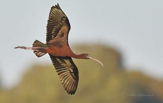 Glossy Ibis (explored)