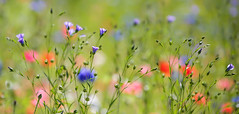 Wild Flowers (Explore 22/07/2016) (paulapics2) Tags: fleur floral flora blumen wildflowers poppies bokeh colourful roadside pretty beautiful natural canoneos5diii canonef70300mm garden nature summermeadow summer