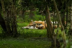 on fait joujou (spiritze) Tags: tigre flin