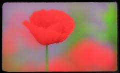 Bokeh: Summer flowers (2) (Ioan BACIVAROV Photography) Tags: flowers summer flower green nature fleur beautiful fleurs wonderful season interesting bokeh natura photostream flori floare wonderfulphoto anotimp ioanbacivarov bacivarov