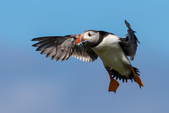 Puffin (Simon Stobart (back but busy)) Tags: puffin flying landing blue sky sandeels fish northeastengland