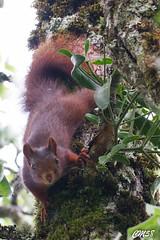 cureuil-6426 (Les Hobbys de Cawol) Tags: red nature squirrel roux cureuil