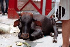 [sacred] (tyronerodovalho1) Tags: india indian bridge rishikeshi uttarakhand ganges river travel life peoople kids children cow