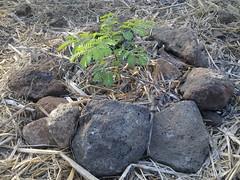 small tree (Sasha India) Tags:              ometepeisland ometepe nicaragua journey travel             eljardindelavida puntagorda balgue