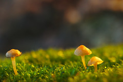 Cute mushrooms in the verdant moss (Yani Dubin) Tags: serenity nature canterbury mushroom yellow backlit colour d7000 gimp focus sharp fungus macrophotography color white bokeh christchurch orange fungi darktable tokinaaf100mmf28macro westmeltonforest light newzealand green tranquility macro