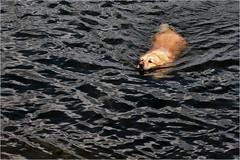 SeeHund (Gabi Wi) Tags: wasser schwimmen fell nase wellen baden tief hund see