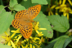 Argynnis paphia - Keizersmantel (Cor Slee) Tags: nature yellow orange bokeh macro closeup ngc