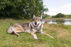 DSC00833 (Andrew Gibson.) Tags: lakedistrict maleswolf sonya7ii sonyilce7m2 thepredatorexperience wolves wolf wildlife wolfhybrid predatorexperiencecouk maska kajika outdoor animal