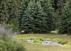 Elk 1 (nicoangleys) Tags: tetons grandtetonsnp nationalpark wyoming jacksonhole schwabacherslanding