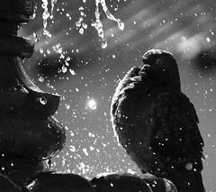Tomando el bao (Memo Vasquez) Tags: tomandoelbao shower pigeon pichn paloma reinoanimal ave birds sonora mxico memovasquez