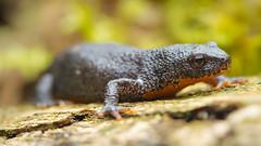 Ichtyosaura alpestris (Mario.Ha) Tags: amphibien bergmolch lurche natur naturaufnahme schwanzlurch schwanzlurche tier tiere