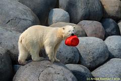 ijsberen_06 (Arnold Beettjer) Tags: wildlands emmen dierenpark dierentuin dierenparkemmen ijsbeer ijsberen polarbear