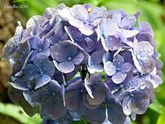 Hydrangea - Hortensia (Cajaflez) Tags: bloem hortensia blue blauw regendruppels rain drops hydrangea ngc ruby5